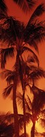 Low angle view of palm trees at dusk, Hawaii by Panoramic Images - various sizes