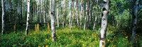 "Field of Rocky Mountain Aspens by Panoramic Images - 36"" x 12"""