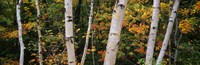 Birch trees in a forest, New Hampshire, USA Fine Art Print