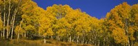 Low angle view of Aspen trees in a forest, Telluride, San Miguel County, Colorado, USA by Panoramic Images - various sizes