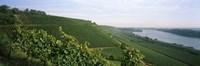 "Vineyards along a river, Niersteiner Hang, Rhine River, Nackenheim, Mainz-Bingen, Rhineland-Palatinate, Rheinhessen, Germany by Panoramic Images - 36"" x 12"""