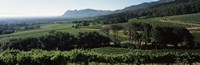 """Vineyard with mountains, Constantiaberg, Constantia, Cape Winelands, Cape Town, Western Cape Province, South Africa by Panoramic Images - 36"""" x 12"""""""