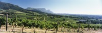 """Vineyard with Constantiaberg Range and Table Mountain, Constantia, Cape Town, Western Cape Province, South Africa by Panoramic Images - 36"""" x 12"""""""
