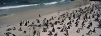 """Colony of Jackass penguins (Spheniscus demersus) on the beach, Boulder Beach, Simon's Town, Western Cape Province, South Africa by Panoramic Images - 36"""" x 12"""""""