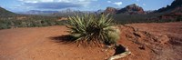"""Yucca plant growing in a rocky field, Sedona, Coconino County, Arizona, USA by Panoramic Images - 36"""" x 12"""""""
