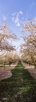 "Almond trees in an orchard, Central Valley, California, USA by Panoramic Images - 13"" x 36"""