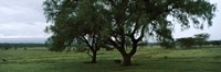 "Trees on a landscape, Lake Nakuru National Park, Great Rift Valley, Kenya by Panoramic Images - 36"" x 12"" - $34.99"