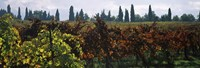 """Vineyards with trees in the background, Apennines, Emilia-Romagna, Italy by Panoramic Images - 36"""" x 12"""""""