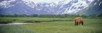 Grizzly bear grazing in a field, Kukak Bay, Katmai National Park, Alaska Fine Art Print