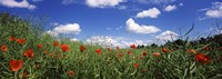 """Red poppies blooming in a field, Baden-Wurttemberg, Germany by Panoramic Images - 36"""" x 12"""""""