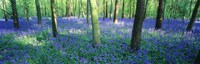 """Bluebells in a forest, Charfield, Gloucestershire, England by Panoramic Images - 36"""" x 12"""""""