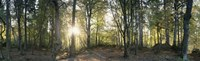 """Trees in a forest, Black Forest, Freiburg im Breisgau, Baden-Wurttemberg, Germany by Panoramic Images - 36"""" x 12"""""""