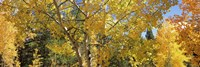 "Aspen trees with foliage in autumn, Colorado, USA by Panoramic Images - 36"" x 12"""