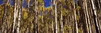 """Aspen tree trunks in autumn, Colorado, USA by Panoramic Images - 36"""" x 12"""""""