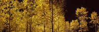 "Aspen trees in autumn with night sky, Colorado, USA by Panoramic Images - 36"" x 12"""