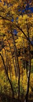 """Tall Aspen trees in autumn, Colorado, USA by Panoramic Images - 12"""" x 36"""""""