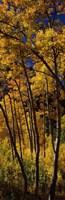 Tall Aspen trees in autumn, Colorado, USA Fine Art Print