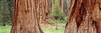 """Sapling among full grown Sequoias, Sequoia National Park, California, USA by Panoramic Images - 36"""" x 12"""", FulcrumGallery.com brand"""