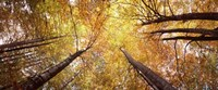 """Low angle view of trees with yellow foliage, Bavaria, Germany by Panoramic Images - 36"""" x 12"""""""