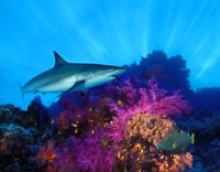 Caribbean Reef shark (Carcharhinus perezi) and Soft corals in the ocean Fine Art Print