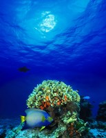 """Queen angelfish (Holacanthus ciliaris) and Blue chromis (Chromis cyanea) with Black Durgon in the sea by Panoramic Images - 12"""" x 36"""" - $34.99"""