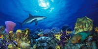 "Caribbean Reef shark (Carcharhinus perezi) Rainbow Parrotfish (Scarus guacamaia) in the sea by Panoramic Images - 36"" x 16"""
