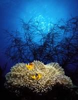 Mat anemone and Allard's anemonefish (Amphiprion allardi) in the ocean Fine Art Print
