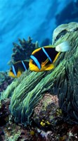 Allard's anemonefish (Amphiprion allardi) in the ocean Fine Art Print