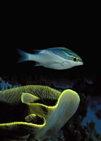 """Two-Lined monocle bream (Scolopsis bilineata) and coral in the ocean by Panoramic Images - 12"""" x 36"""""""