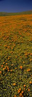 Orange Wildflowers, California by Panoramic Images - various sizes