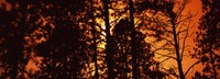 """Low angle view of trees at sunrise, Colorado, USA by Panoramic Images - 36"""" x 12"""""""