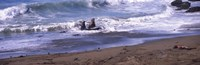 """Elephant seals in the sea, San Luis Obispo County, California, USA by Panoramic Images - 36"""" x 12"""""""