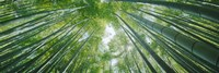 Low angle view of bamboo trees, Hokokuji Temple, Kamakura, Kanagawa Prefecture, Kanto Region, Honshu, Japan Fine Art Print