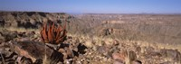 "Aloe growing at the edge of a canyon, Fish River Canyon, Namibia by Panoramic Images - 36"" x 12"""