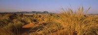 Grass growing in a desert, Namib Rand Nature Reserve, Namib Desert, Namibia Fine Art Print