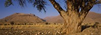 Camelthorn tree (Acacia erioloba) with mountains in the background, Brandberg Mountains, Damaraland, Namib Desert, Namibia Fine Art Print