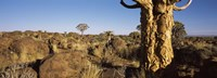 """Quiver tree (Aloe dichotoma) growing in a desert, Namibia by Panoramic Images - 36"""" x 12"""""""