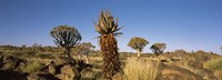 """Different Aloe species growing amongst the rocks at the Quiver tree (Aloe dichotoma) forest, Namibia by Panoramic Images - 36"""" x 12"""""""