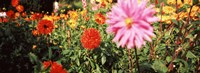 """Dahlia flowers in a park, Stuttgart, Baden-Wurttemberg, Germany by Panoramic Images - 36"""" x 12"""", FulcrumGallery.com brand"""