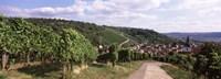 "Vineyards, Obertuerkheim, Stuttgart, Baden-Wurttemberg, Germany by Panoramic Images - 36"" x 12"""