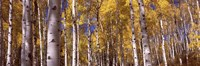 "Forest, Grand Teton National Park, Teton County, Wyoming, USA by Panoramic Images - 36"" x 12"""