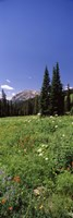 Wildflowers in a forest, Crested Butte, Gunnison County, Colorado, USA by Panoramic Images - various sizes