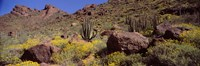 Cacti with wildflowers on a landscape, Organ Pipe Cactus National Monument, Arizona, USA Fine Art Print