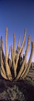 Organ Pipe Cacti, Organ Pipe Cactus National Monument, Arizona (horizontal) Fine Art Print