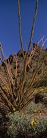 Plants on a landscape, Organ Pipe Cactus National Monument, Arizona (vertical) Fine Art Print