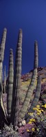 Close up of Organ Pipe cactus, Arizona Fine Art Print