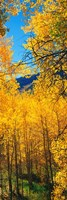 """Valley with Aspen trees in autumn, Colorado, USA by Panoramic Images - 12"""" x 36"""""""