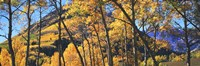"""Aspen trees in autumn with mountain in the background, Maroon Bells, Elk Mountains, Pitkin County, Colorado, USA by Panoramic Images - 36"""" x 12"""""""