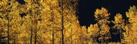 """Aspen trees in autumn, Colorado, USA by Panoramic Images - 36"""" x 12"""""""
