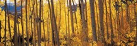 Autumn Aspen trees, Colorado, USA Fine Art Print
